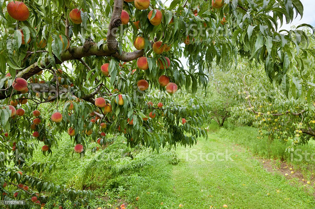 Peach orchard royalty-free stock photo