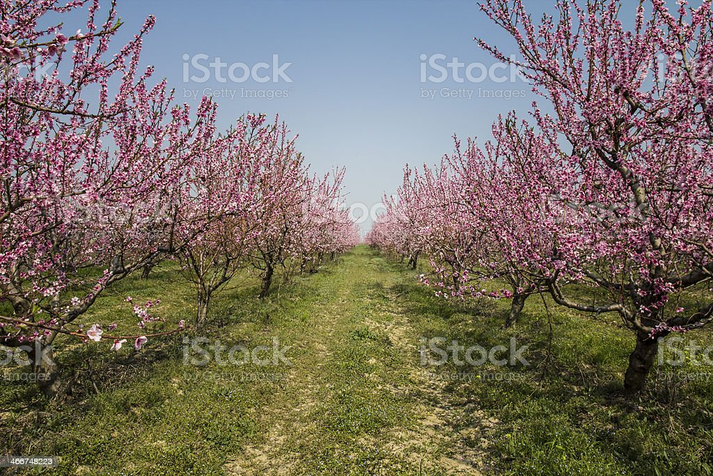 Peach orchard with springtime blossoms on trees. royalty-free stock photo