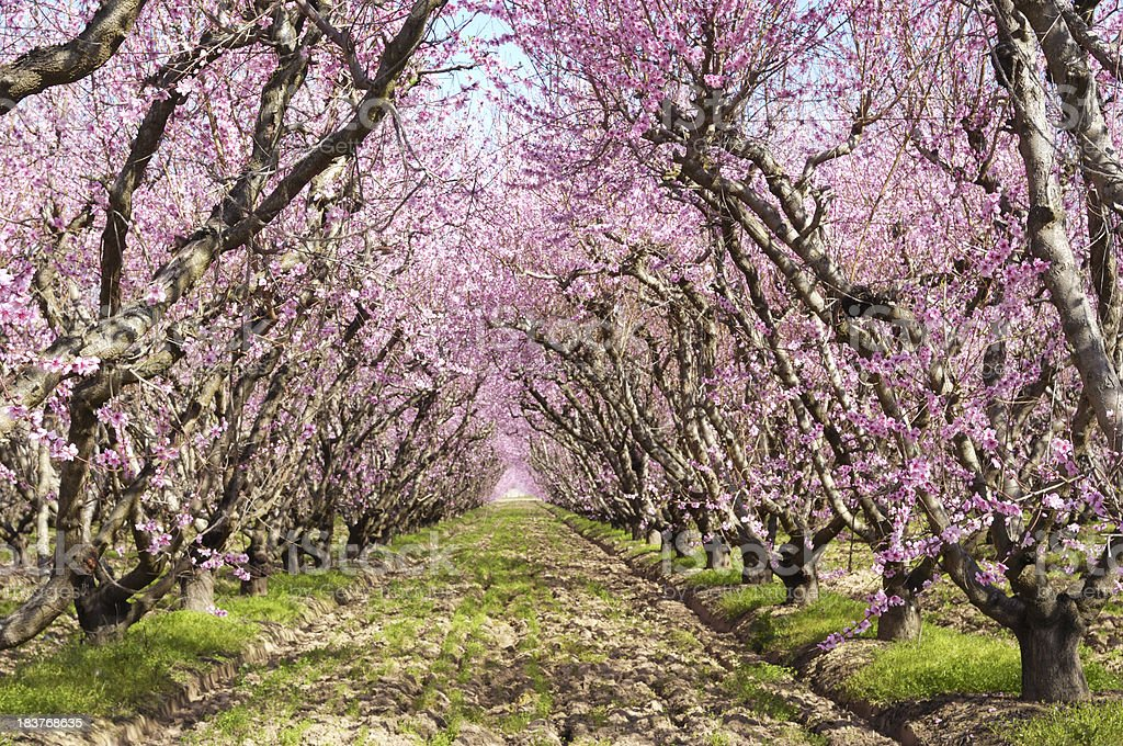 Peach Orchard with Springtime Blossoms royalty-free stock photo