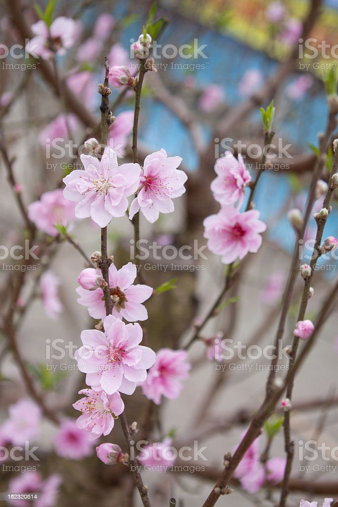 Peach royalty-free stock photo