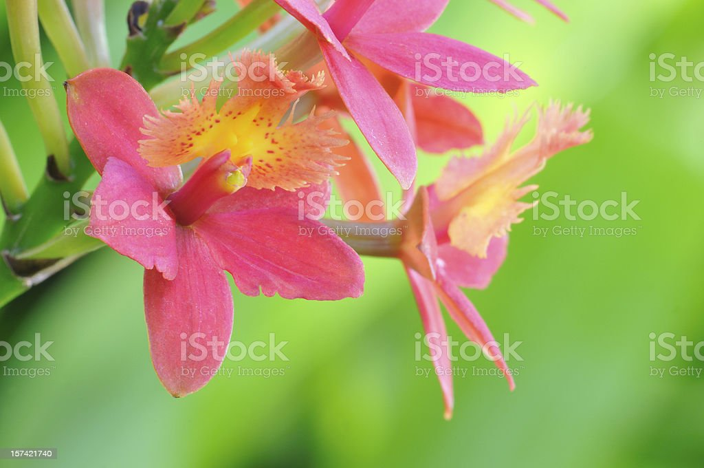 Peach Red Orchids royalty-free stock photo