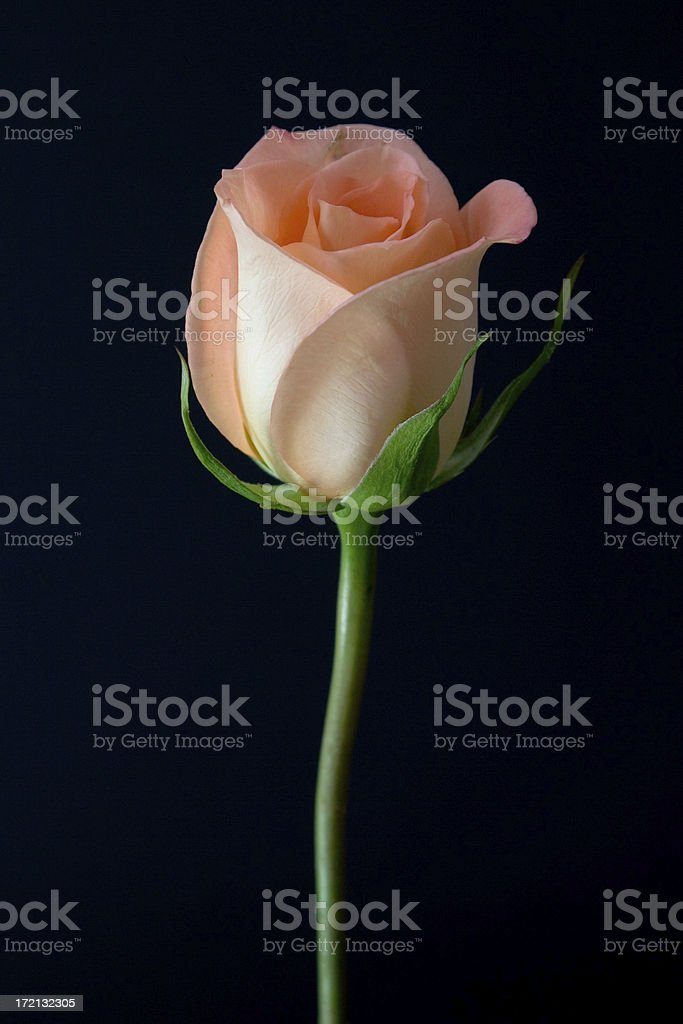 Peach Rose from Slightly Above royalty-free stock photo
