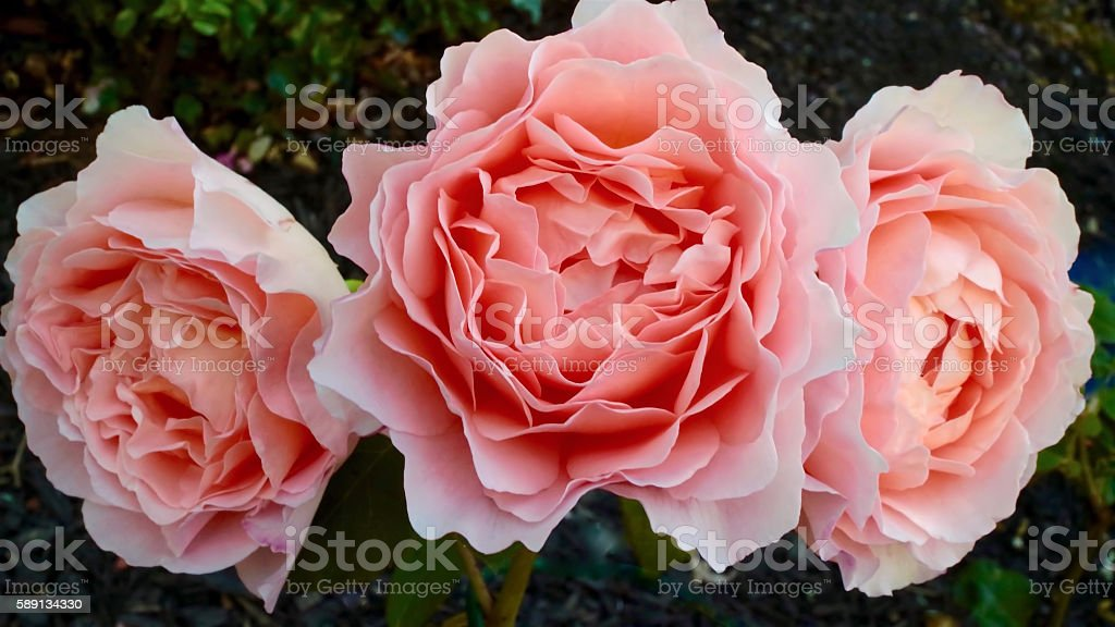 Peach Rose Trilogy stock photo