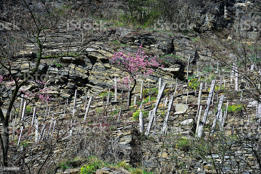 Peach tree blooming in mountain stock photo