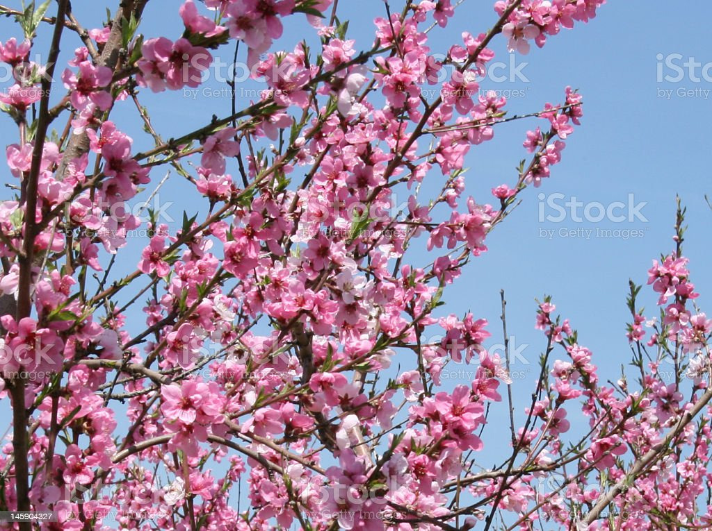 Peach Tree Blossoms royalty-free stock photo