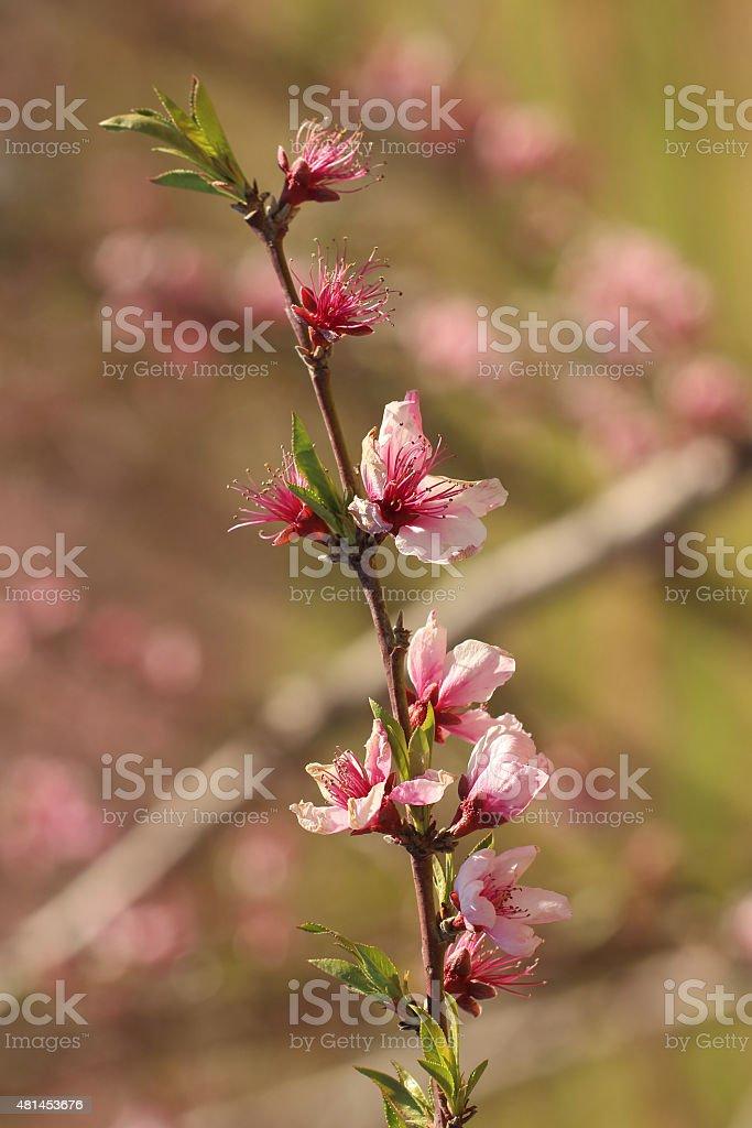 Peach tree blossoms stock photo