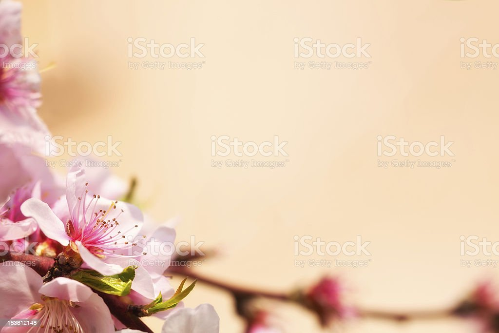 Peach tree flower close up royalty-free stock photo
