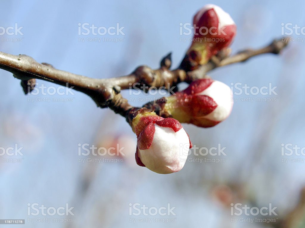 Peach tree flower royalty-free stock photo