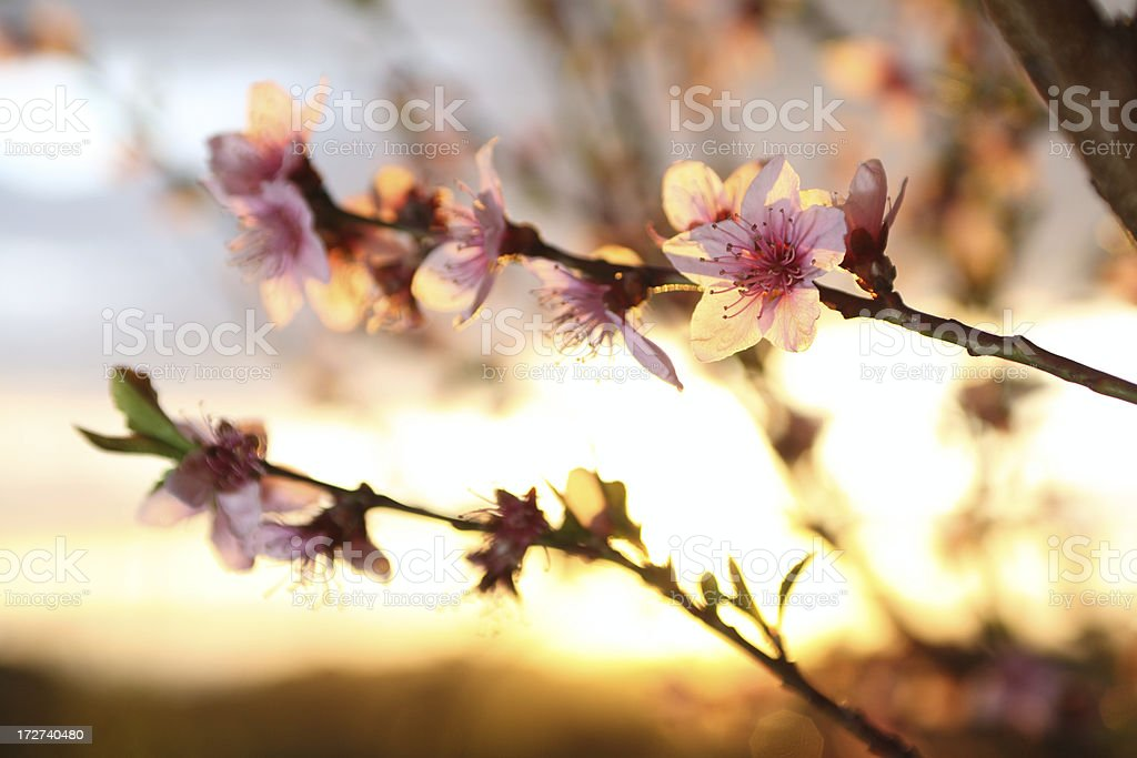 Peach tree flowers at sunset stock photo