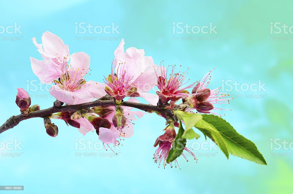 Peach Tree in Bloom royalty-free stock photo