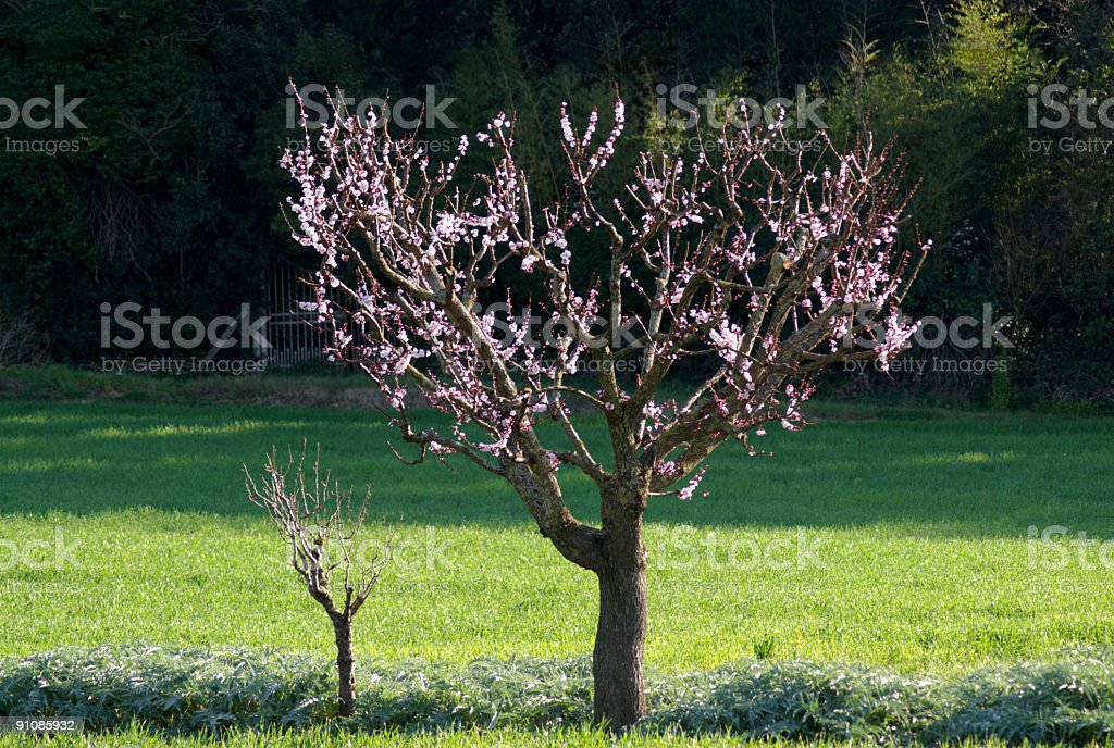 Peach tree in spring royalty-free stock photo