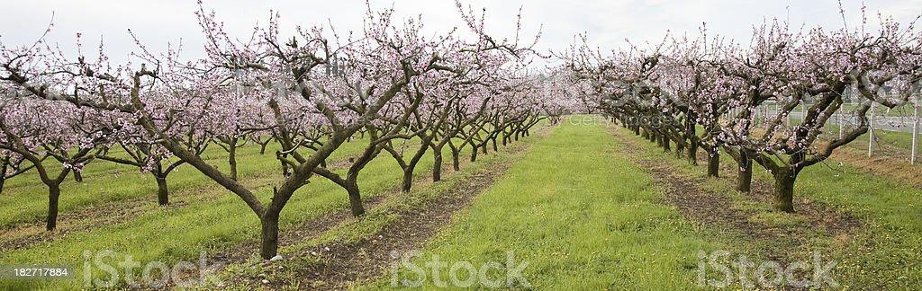 Peach tree line royalty-free stock photo