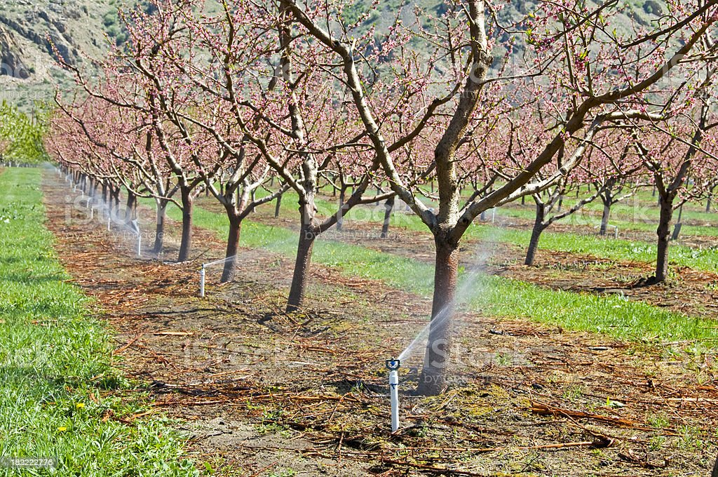 Peach tree orchard and irrigation royalty-free stock photo