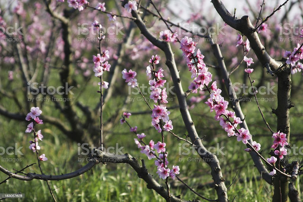 Peach tree orchard in blossom royalty-free stock photo
