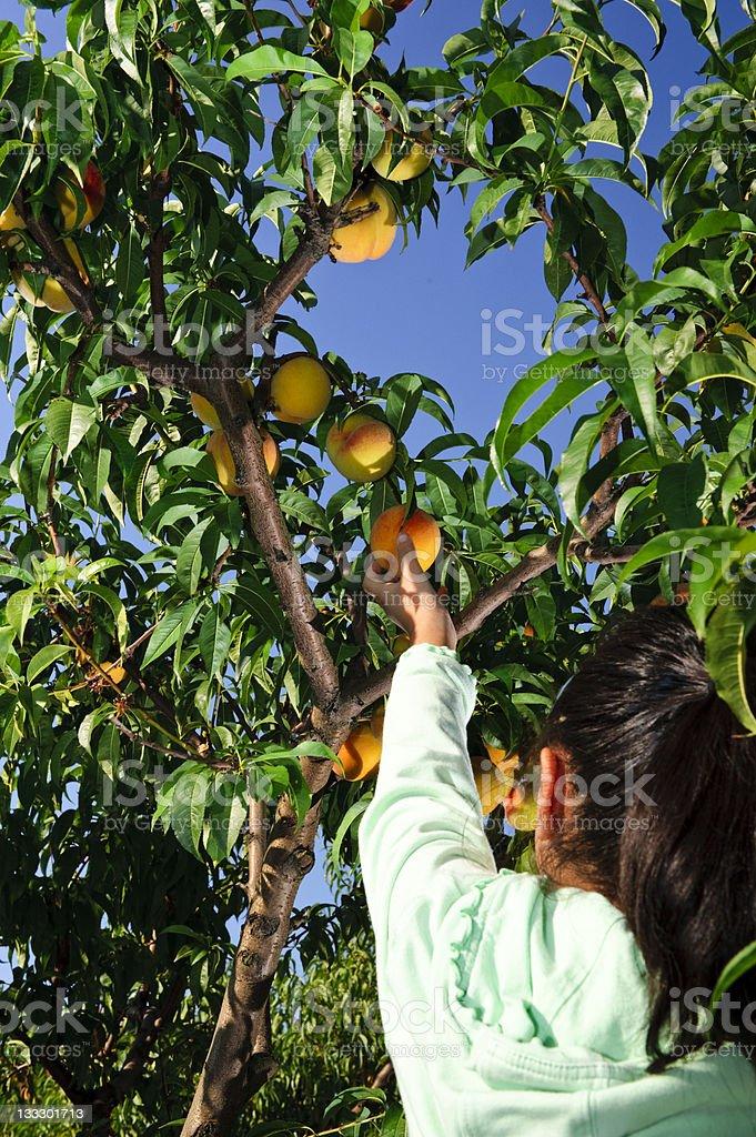Peach Tree royalty-free stock photo
