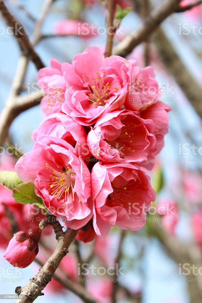 peach tree stock photo