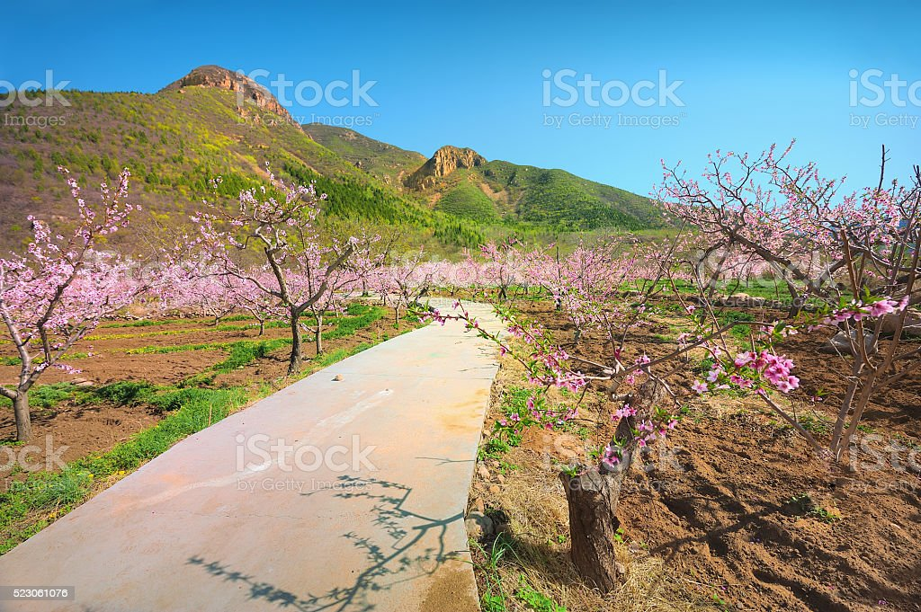 Peach tree, stock photo