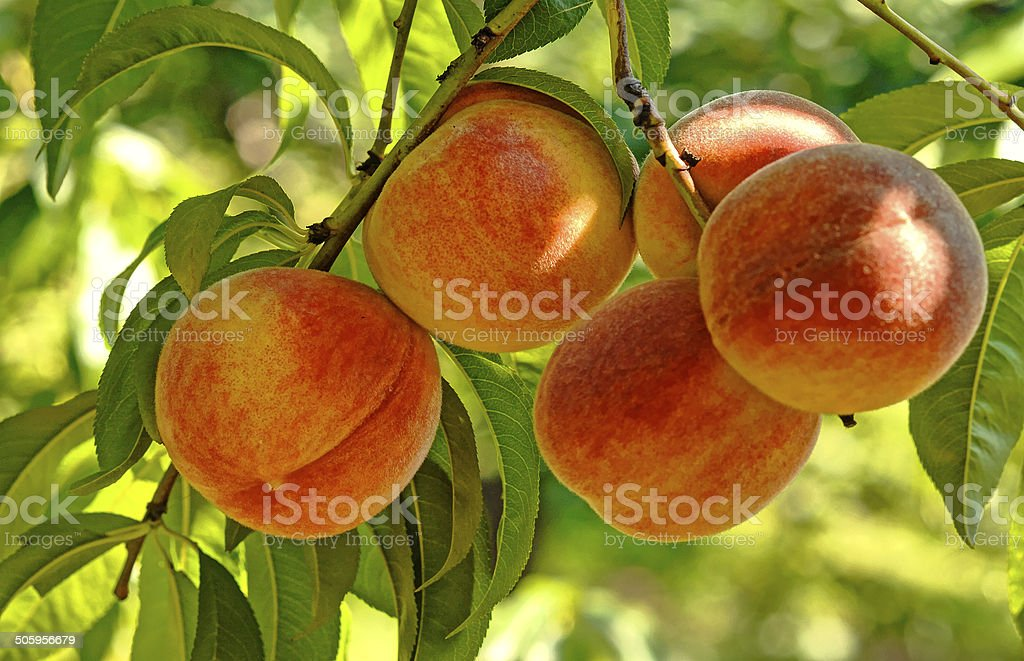 Peach tree with fruits stock photo