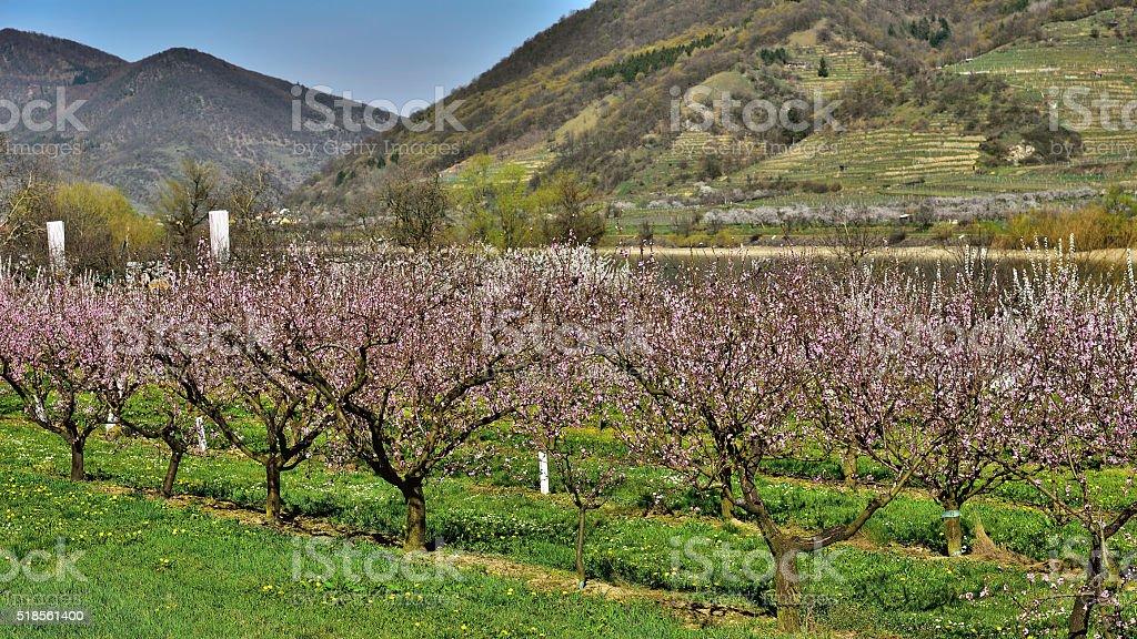 Peach trees blooming in Willendorf/Wachau/Austria stock photo