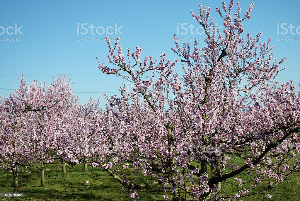 Peach Trees in Blossom royalty-free stock photo