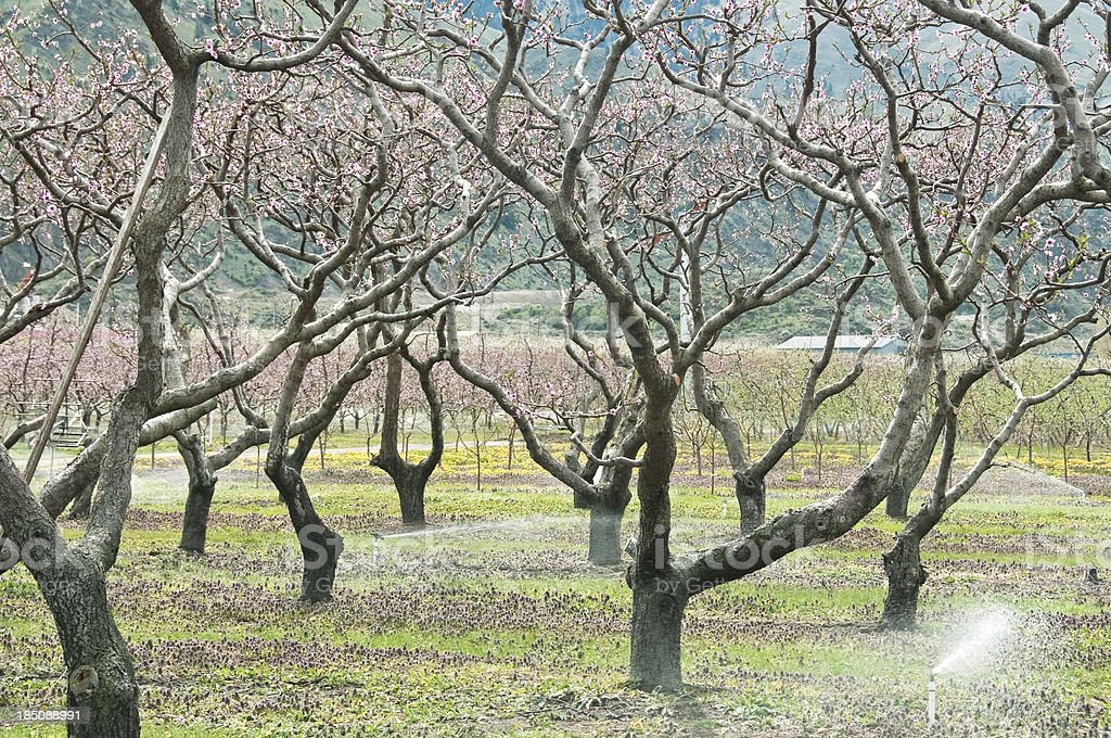 Peach trees in spring being irrigated royalty-free stock photo