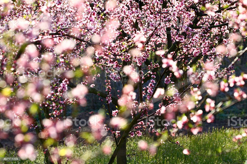 peach trees in spring stock photo