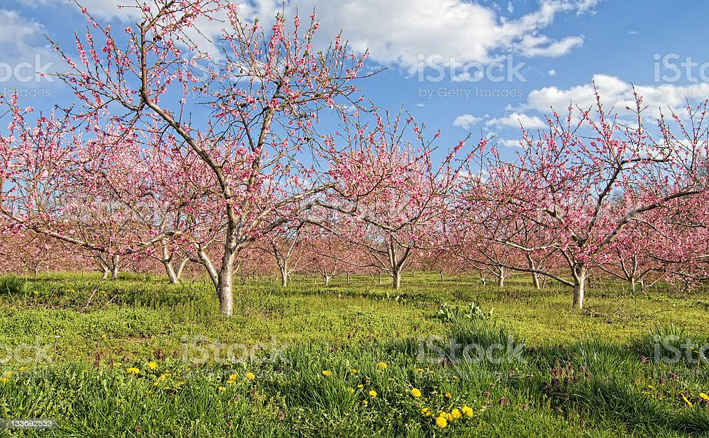 Peach trees stock photo