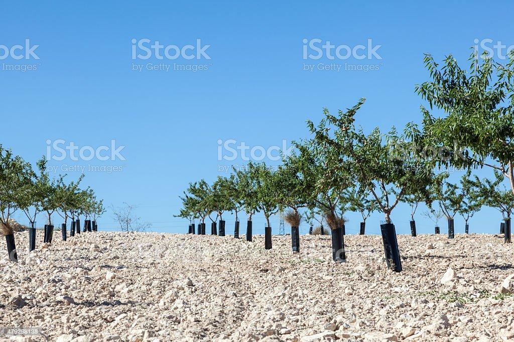 Peach trees plantation stock photo