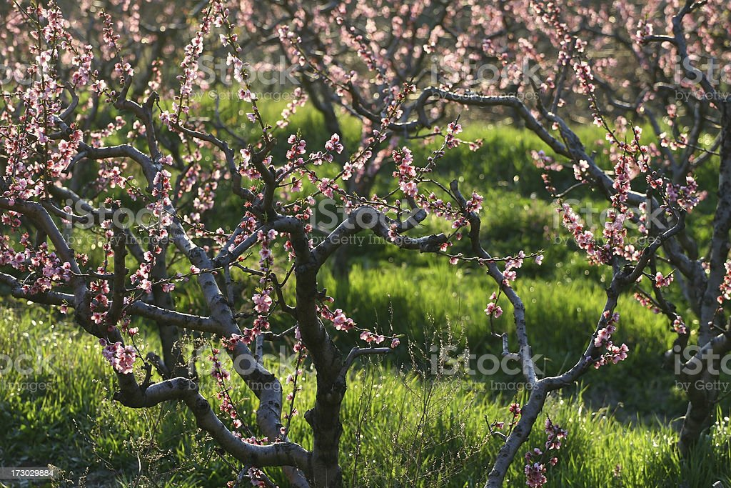 peaches in spring royalty-free stock photo