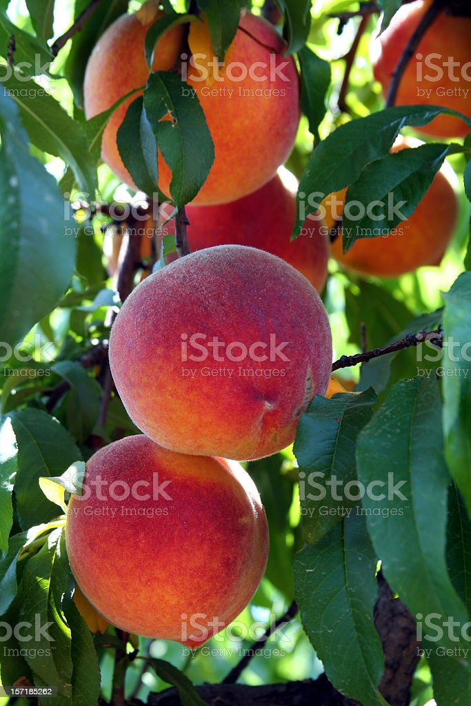Peaches on a branch royalty-free stock photo