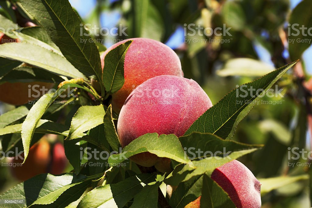 Peaches on a branch stock photo