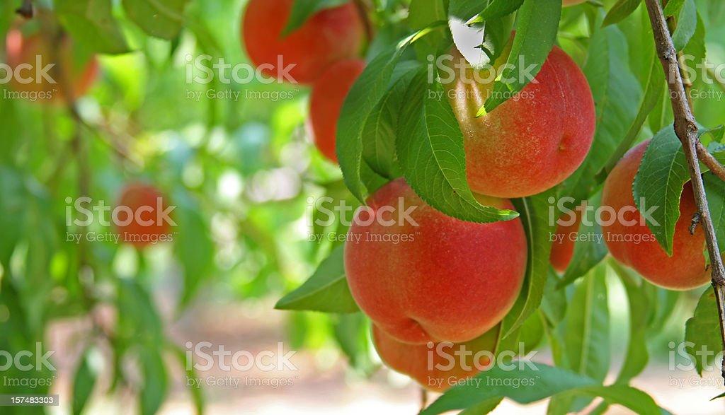 Peaches on a peach tree (close-up) stock photo
