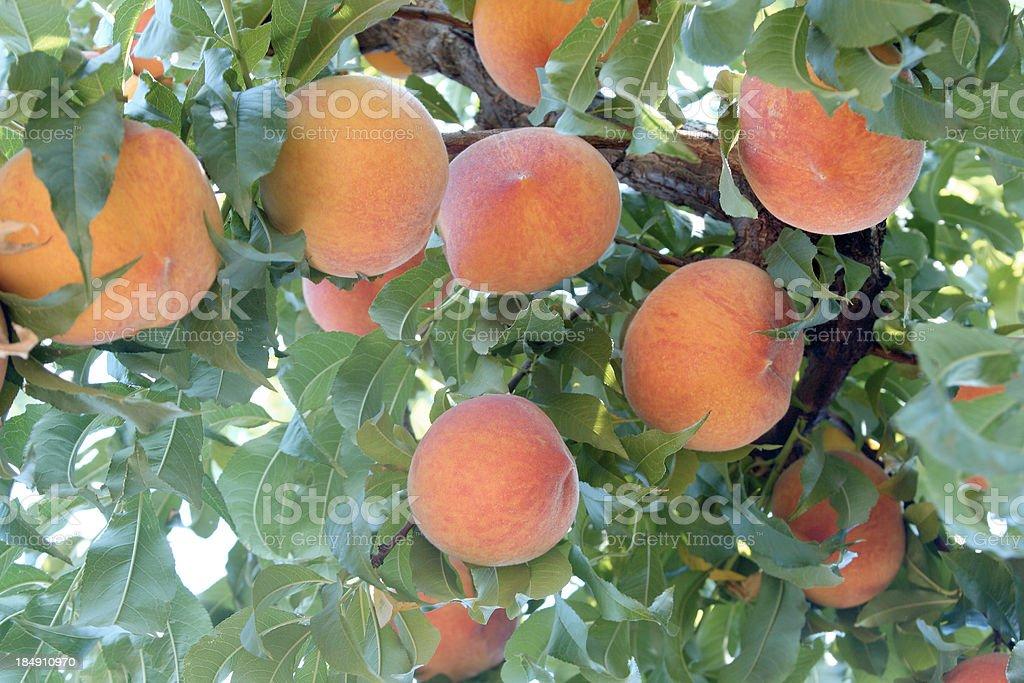 Peaches on a tree royalty-free stock photo
