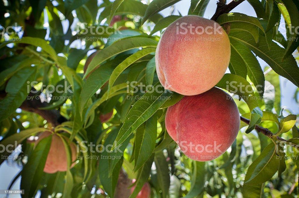 Peaches on the Tree royalty-free stock photo