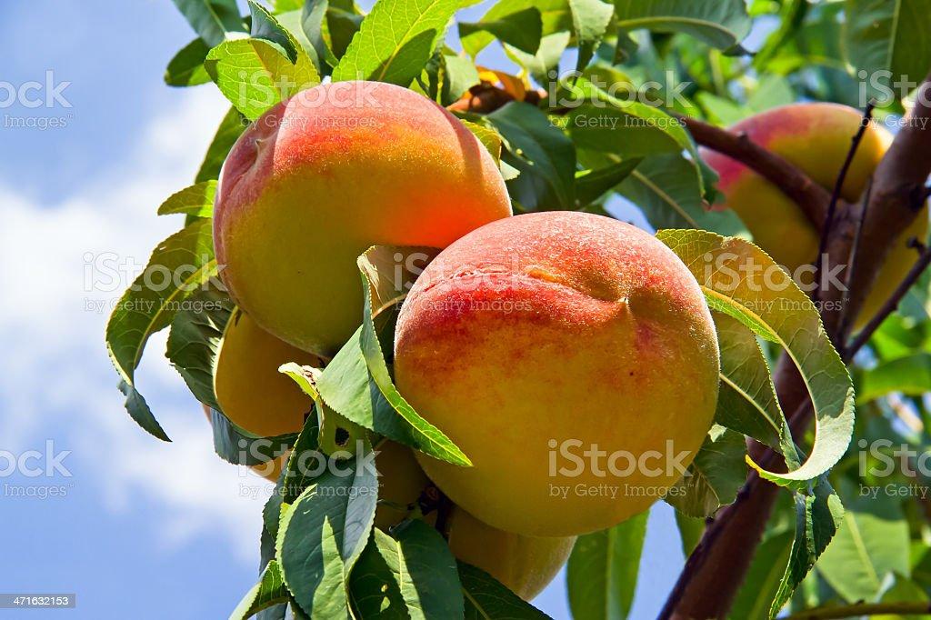 Peaches sull'albero foto stock royalty-free
