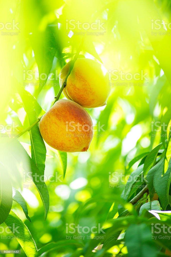 Peaches on tree stock photo