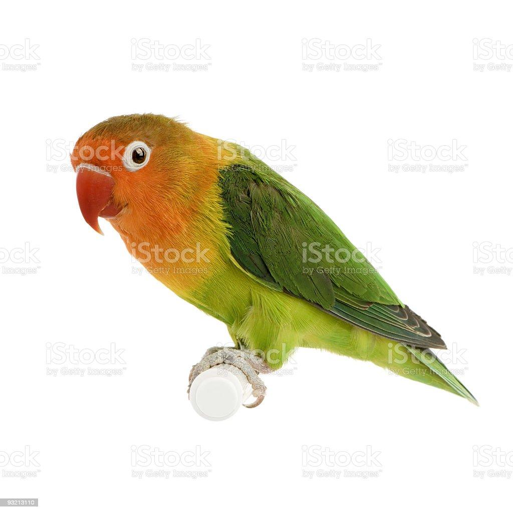 Peach-faced Lovebird royalty-free stock photo