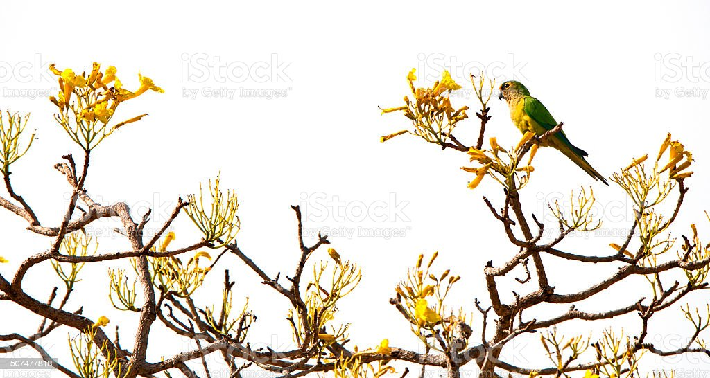 peach-fronted parakeet on the top of a yellow trumpet tree stock photo