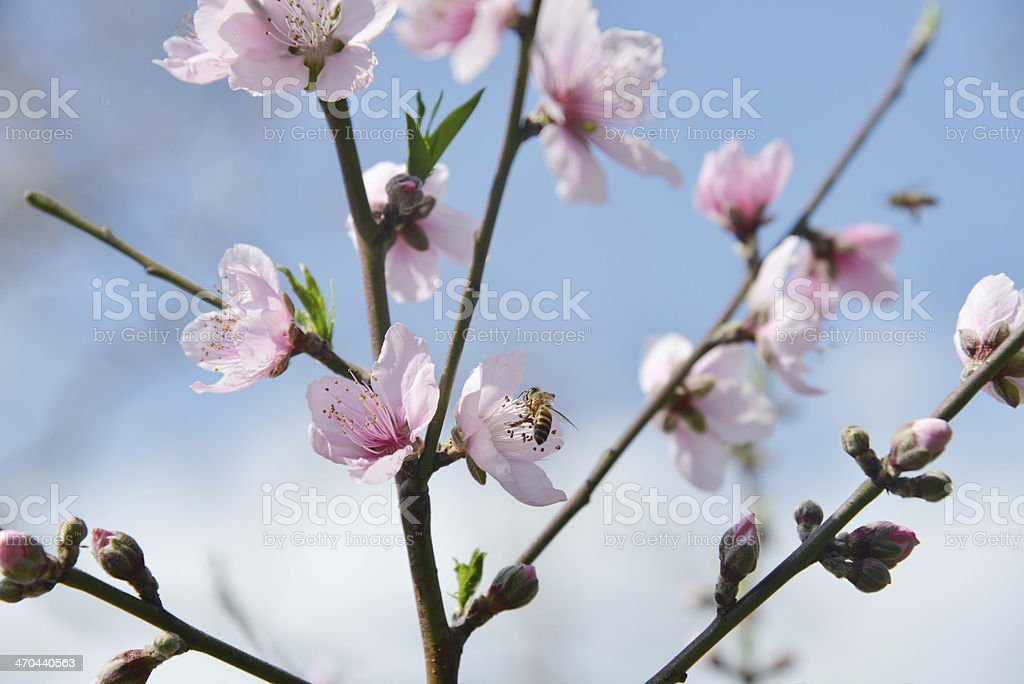 Peach-tree with pink blossoms royalty-free stock photo