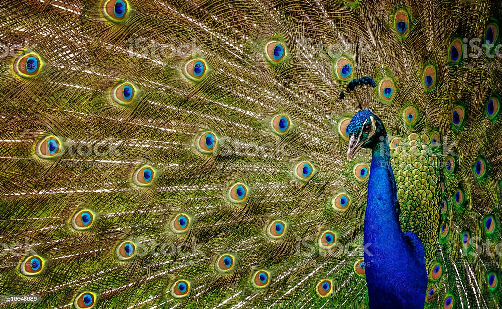 Peacock 2 stock photo