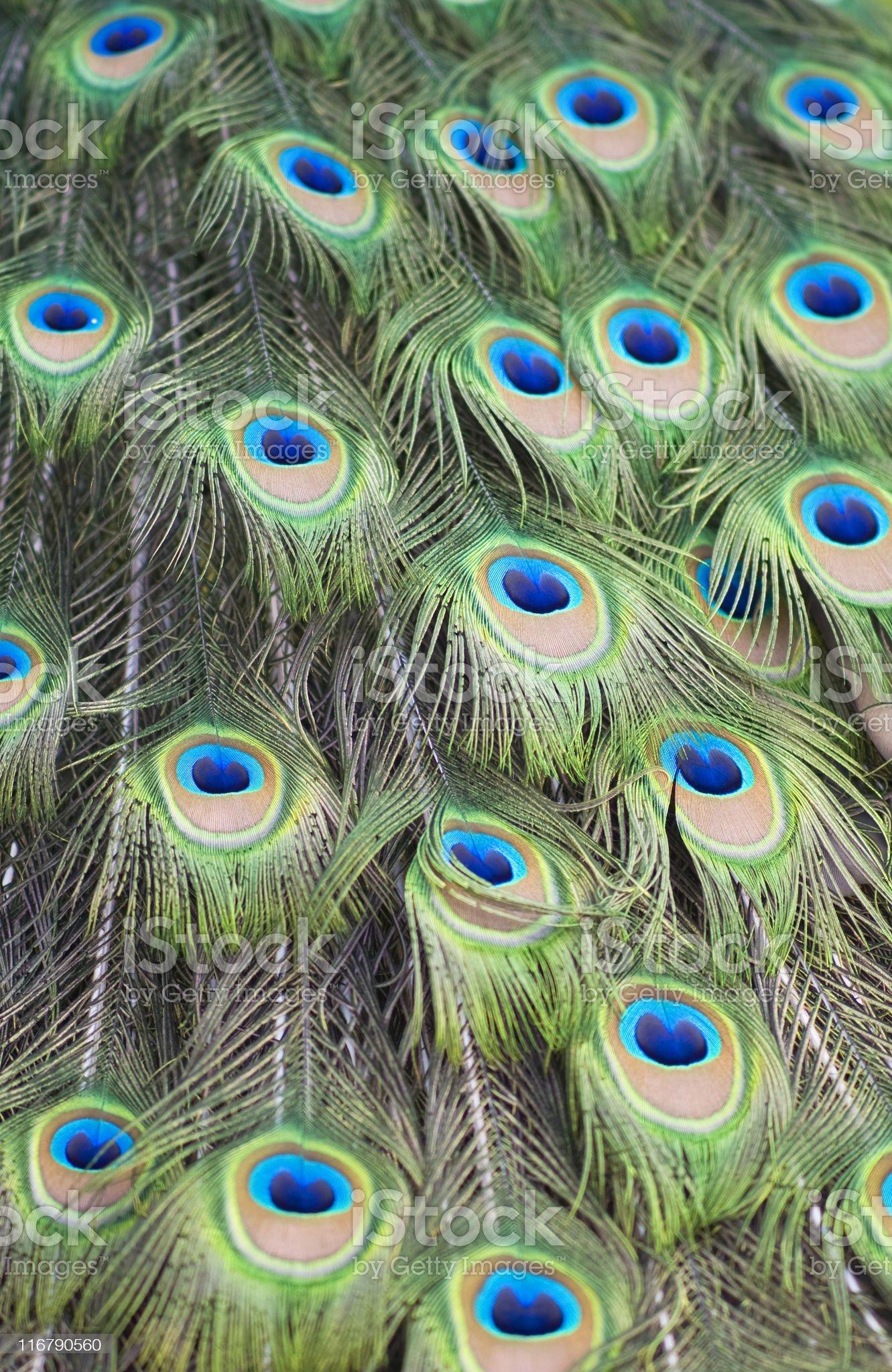 Peacock blues. royalty-free stock photo