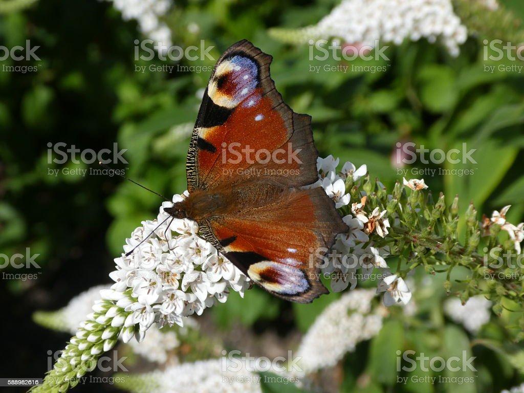 Peacock butterfly (Aglais io) on Buddleja davidii 'White Profusion' stock photo