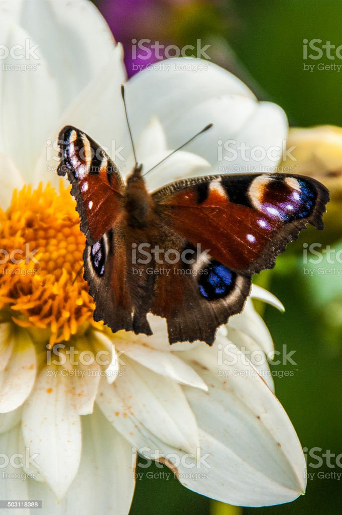 Peacock butterfly on Dahlia flower royalty-free stock photo