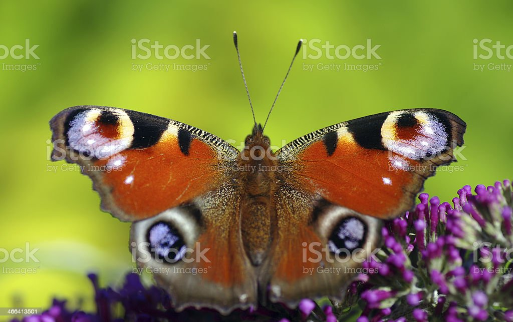 Peacock Butterfly royalty-free stock photo