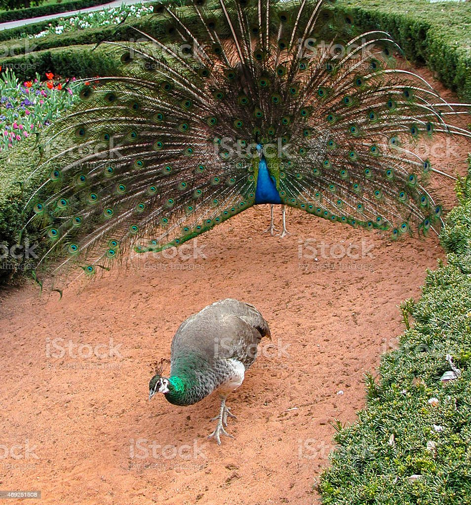 Peacock courting stock photo