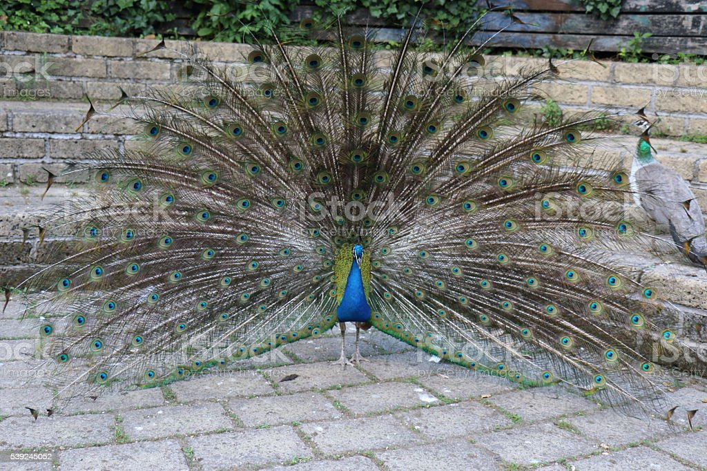Peacock courtship stock photo