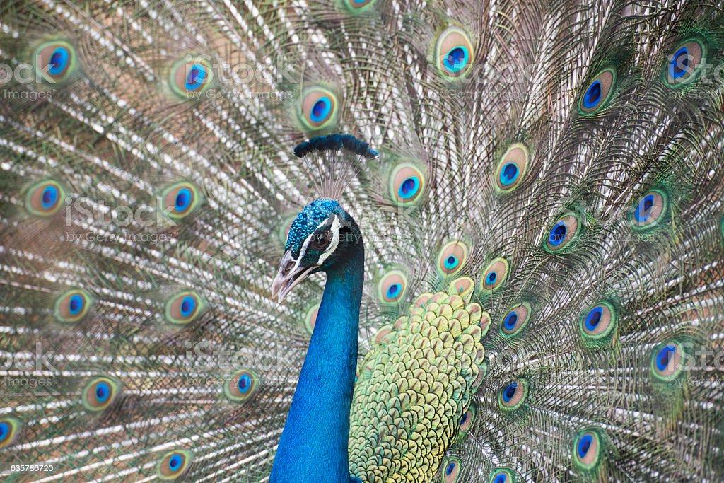 Peacock dancing in mysore zoo stock photo