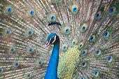 Peacock dancing in mysore zoo