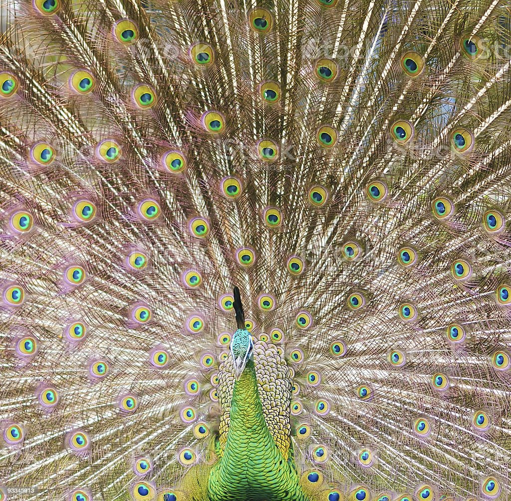 Peacock display royalty-free stock photo