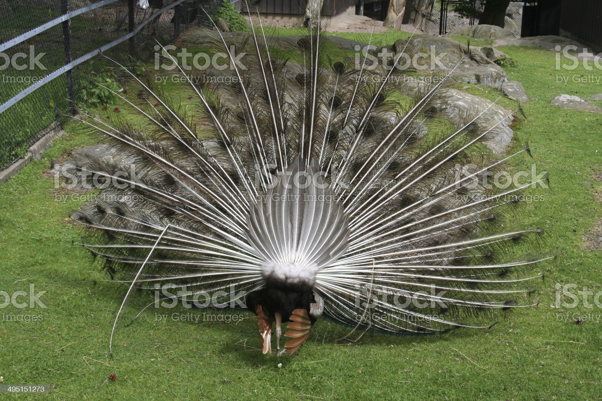 Peacock Displaying His Plumage from Behind royalty-free stock photo